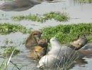 ハイエナが水に入ってカバを食べる