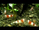 我が家の水槽動画を上げてみた2【アクアリウム】 thumbnail