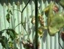 栽培中のミニトマト