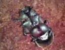 カブトムシの子作り