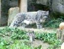 ユキヒョウの赤ちゃん ユキチ - 多摩動物公園 - 1 -