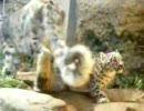 ユキヒョウの赤ちゃん ユキチ - 3 -