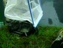 【ニコニコ動画】初心者による初心者のための水槽立ち上げ~その5~を解析してみた