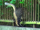 フェンスに挟まる猫 thumbnail