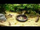 『アクアリウム』 お食事中のコリドラスを定点撮影してみた thumbnail