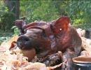 三匹の子豚を丸焼きにしよう!