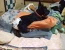 ニャンコとオムツ犬 part 3~枕から出てこない猫~