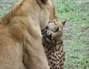 チーターがライオンに咬み殺された