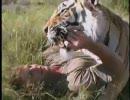トラに襲われたらどうする?