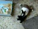 うっさうさにされる子猫