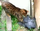 猫がハト捕まえおった