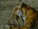 トラ、サルを狩る thumbnail