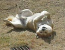 【ニコニコ動画】実家の柴犬を盗撮してみたを解析してみた