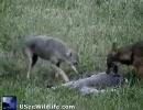 コヨーテのペアが鹿を食う