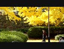 【ニコニコ動画】【リトルカブ車載動画】カブで大銀杏を見に行った【スーパーカブ】を解析してみた