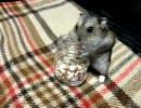飼主の油断をついて食べ放題のジャンガリアンハムスター