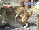 飼い主が他の犬を可愛がってた時、飼い犬の反応で最も多いのは…… thumbnail