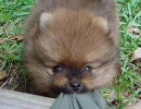 [子犬] ポメでフルもっふされる動画集 [もふもふ]