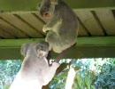 コアラの喧嘩