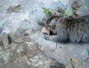 【ニコニコ動画】猫にとってハムスターは食べられるオモチャでしかないを解析してみた