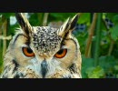 【ニコニコ動画】掛川花鳥園 フクロウプロモーションビデオを解析してみた
