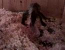 【ニコニコ動画】オオトカゲ君がハムスターを食べるよを解析してみた