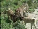 カンガル犬vsトラ【中国】