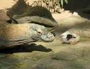 コモドオオトカゲの昼飯はトリ
