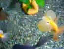 うちの金魚4