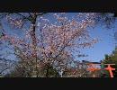 【HD】2010年春の京都・滋賀に行ってきた(1)【平野神社~】