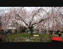 【HD】2010年春の京都・滋賀に行ってきた(5)【円山公園~】