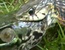 ヘビに呑まれてるカエルを他のカエルが助けた!!