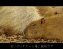 カピバラ撮影 NG編(3) カピバラぷる~んぷる~ん