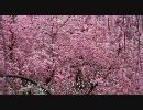 【HD】2010年春の京都・滋賀に行ってきた(17)【原谷苑】