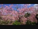 【HD】2010年春の京都・滋賀に行ってきた(20)【原谷苑再び】