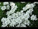 白い華~White Garden~【天野月子】