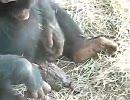チンパンジーがカエルに咥えさせてる