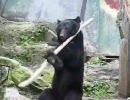 棒術使いの熊