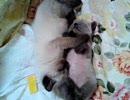 子猫メテオとラテ成長記録 3 『抱き枕』