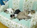 ふちゃぎん家の日常 Vol.132「Cat's sofa x 15」