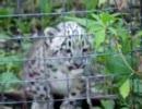 ユキヒョウ(雪豹)の赤ちゃん