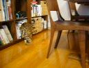 ベンガル猫 ナイルとアメリと、HexbugNano