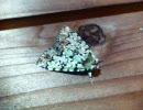 きれいな蛾の写真を 撮ってきたので 種類