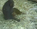 カエルをオナホにしてオナニーするチンパンジー