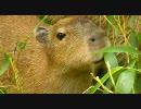 カピバラ笹を食べる
