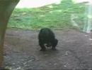 カエルにフェラを強要するチンパンジー