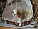キャバリアの子犬