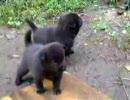 甲斐犬 子犬2