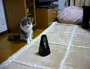 メトロノームの音に合わせて体がぴくぴく動く猫