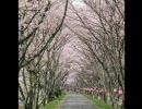 【今頃】桜のトンネルを通ってみた【なぜ】